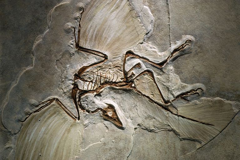 Fossile di Archéopteryx